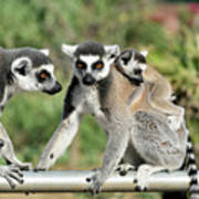 Ring Tailed Lemurs With Baby Poster