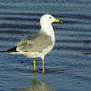 Ringed Billed Sea Gull Poster