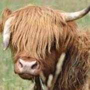 Ringo - Highland Cow Poster