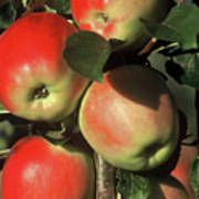 Ripening Apples Poster