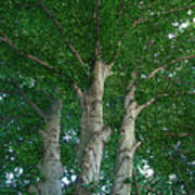 River Birches Poster