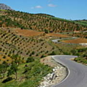 Road Winding Between Fields Of Olive Trees Poster