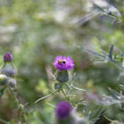 Roadside Thistle Bee Polination Poster