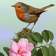 Robin And Camellia Flower Poster