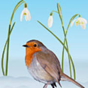 Robin And Cold Snowdrops Poster
