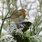 Robin And Snowdrops Poster