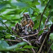 Robin Chicks In Nest. Poster