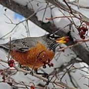 Robin Eating A Berry Poster