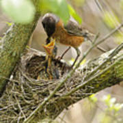 Robin Feeding Young Poster