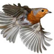 Robin In Flight Poster