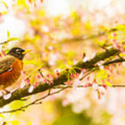 Robin In Spring Blossom Cherry Tree Poster
