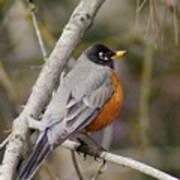 Robin In Tree 2 Poster