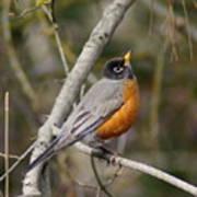 Robin In Tree Poster