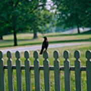 Robin On A Fence Poster
