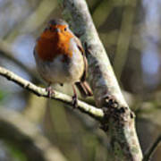 Robin On Branch Donegal Poster
