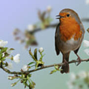 Robin On Cherry Blossom Poster