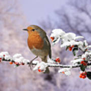 Robin On Cotoneaster With Snow Poster