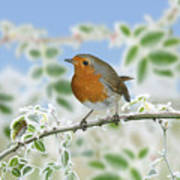 Robin On Frosty Briar Poster