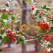 Robin On Holly Twigs Poster