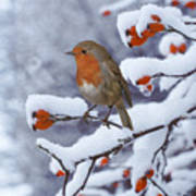 Robin On Snow-covered Rose Hips Poster