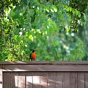 Robin On The Backyard Fence Poster