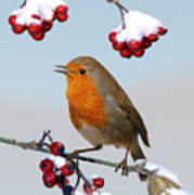 Robin On Winter Cotoneaster Poster