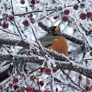 Robin Perched In Crabapple Tree Poster