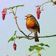 Robin Singing On Flowering Currant Poster