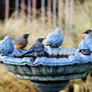 Robins On Birdbath Poster