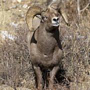 Rocky Mountain Big Horn Sheep Poster