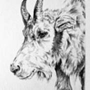 Rocky Mountain Goat Poster