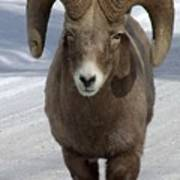 Rocky Mountain Ram In Winter Poster