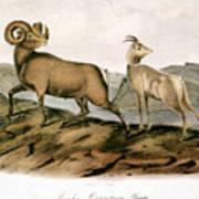 Rocky Mountain Sheep, 1846 Poster
