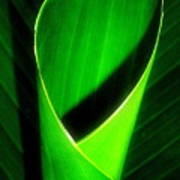 Rolled Canna Leaf Poster by Beth Akerman