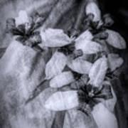 Romantic Island Iris In Black And White Poster