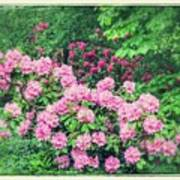 Romantic Rhododendrons Poster