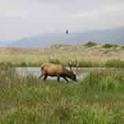 Roosevelt Elk 1 Poster