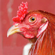 Rooster Close-up On A Reddish Background Poster