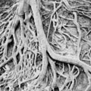 Roots In Black And White Poster