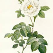 Rosa Alba Flore Pleno Poster
