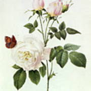 Rosa Bengale The Hymenes Poster by Pierre Joseph Redoute