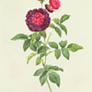 Rosa Gallica Gueriniana Poster by Pierre Joseph Redoute