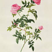 Rosa Sepium Flore Submultiplici Poster by Pierre Joseph Redoute