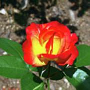 Rose 07 Poster