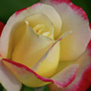 Rose 3913 Poster