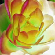 Rose Blush Poster by Lynne Furrer