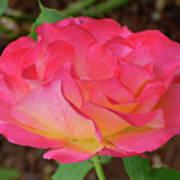Rose Blushing Poster