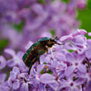 Rose Chafer On Lilac Poster