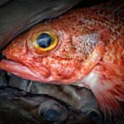 Rose Fish Poster