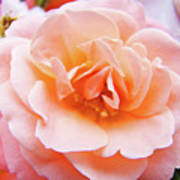 Rose Floral Art Print Peach Pink Roses Garden Canvas Baslee Troutman Poster